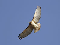12663768 - red tailed hawk in flight